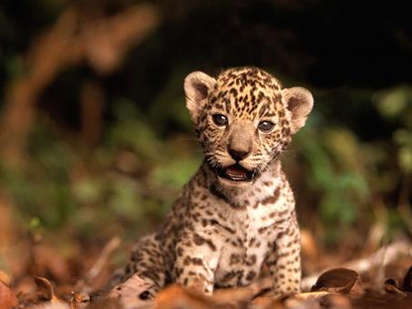 baby jaguar wwf