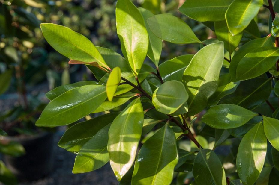 Tristaniopsis laurina Luscious foliage