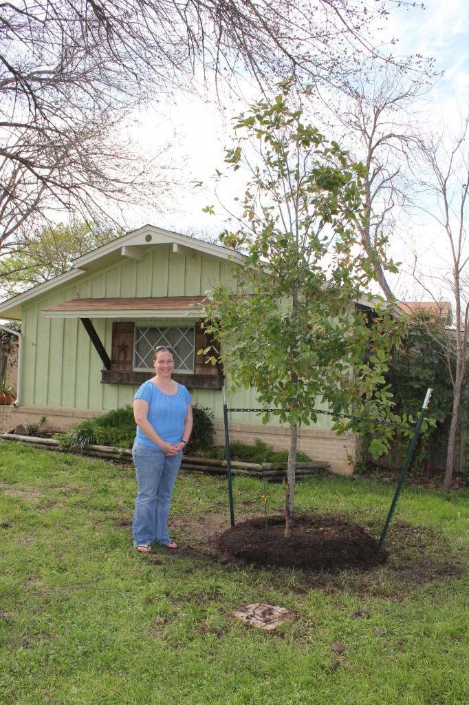 Monterrey Oak Tree Young
