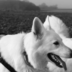 Sortie chiens libres - 19 Novembre 2017 (11)