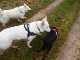 Sortie chiens libres - 17 Décembre 2017 (14)