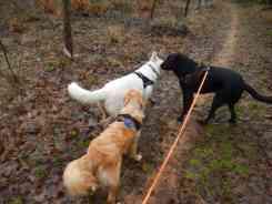 Sortie chiens libres - 17 Décembre 2017 (20)