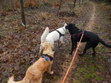 Sortie chiens libres - 17 Décembre 2017 (22)