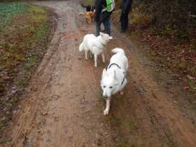 Sortie chiens libres - 17 Décembre 2017 (26)