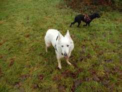 Sortie chiens libres - 17 Décembre 2017 (42)