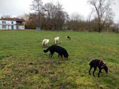 Sortie chiens libres - 28 Janvier 2018 (52)