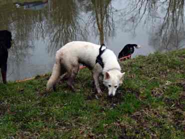 Sortie chiens libres - 28 Janvier 2018 (58)
