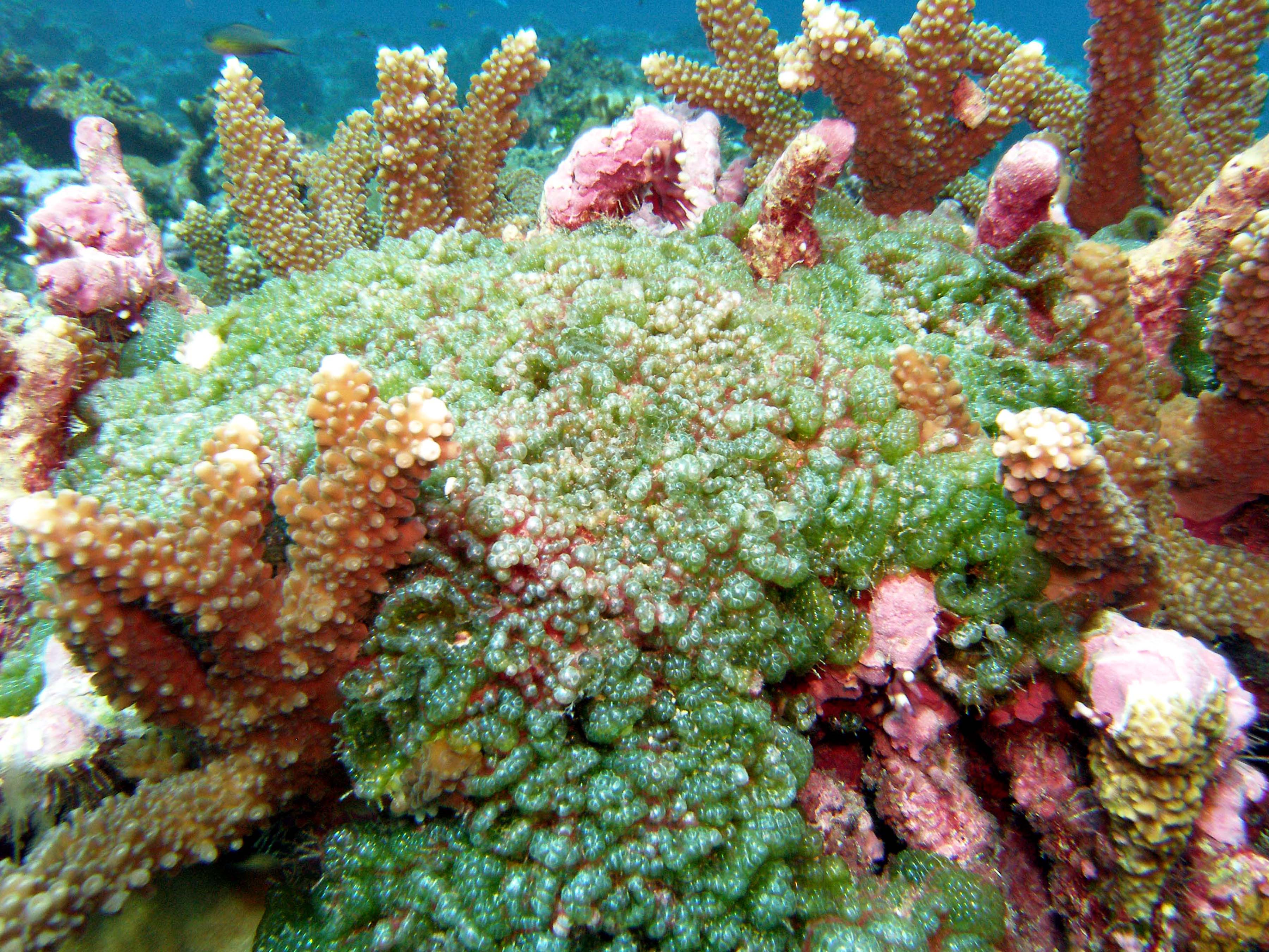 Too Much Algae And Too Many Microbes Threaten Coral