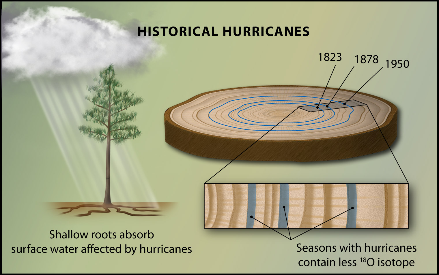 Tree Rings Provide A 200 Year Old Hurricane Record All