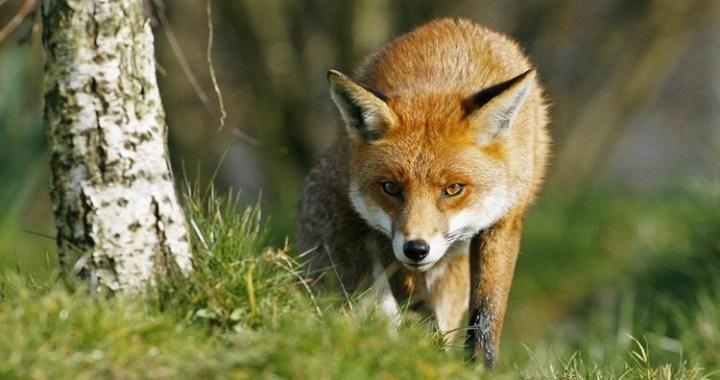 Uzsāk meža dzīvnieku vakcināciju