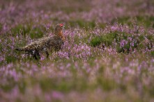 Northumberland National Park - Red Grouse on heather moorland