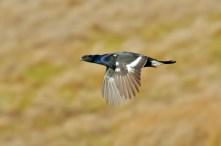 Northumberland National Park - Black Grouse
