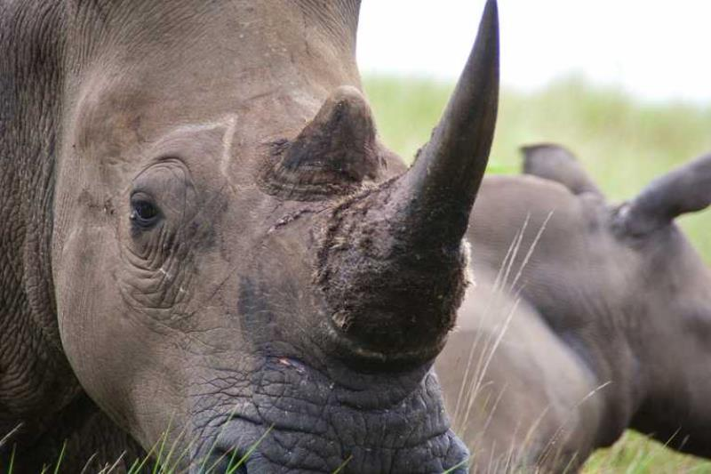 Rhino 3D Printing Horn South Africa Pembient
