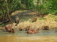 Carpinchos o capibaras, el roedor mas grande del mundo