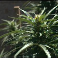 California Measures Taxing Medical Marijuana Win Big At Ballot Box