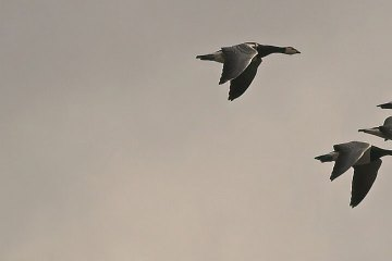 Geese inflight against a grey sky.