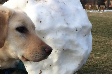 A yellow Labrador puppy sits in front of a snow boulder as big as himself. The snowball rests on the grass of a field.