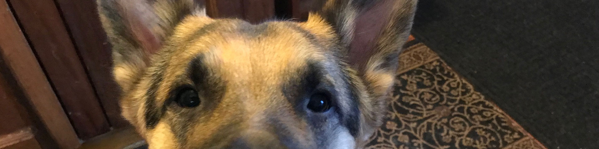 A German Shepherd puppy looks intently at the camera.