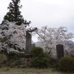 名胡桃城址(なぐるみ)の桜