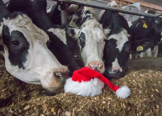 Photo of cows with santa hat
