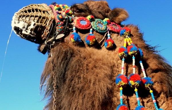 Lotta dei cammelli - Selcuk