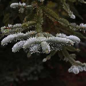 Conifer Garden Trees - Nurseries Online