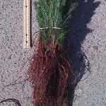 black hills spruce seedlings for sale