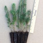 evergreen seedling plugs