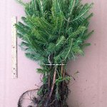 colorado blue spruce evergreen transplants