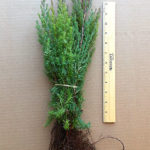 eastern red cedar evergreen seedlings for sale