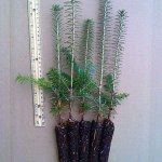 fraser fir plug seedlings for sale