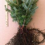 fraser fir transplants for sale