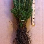 norway spruce seedlings for sale