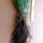 ponderosa pine seedlings for sale