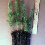 serbian spruce plug seedlings for sale