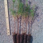 tamarack larch plug seedlings for sale