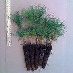 white pine plug seedlings for sale