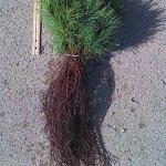 white pine seedlings for sale