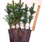 black hills spruce plug transplants for sale
