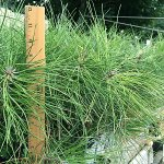 ponderosa pine plug transplants