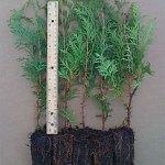 white cedar plug transplants for sale