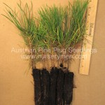 evergreen trees for sale - austrian pine plug seedlings
