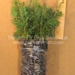 balsam fir plug seedlings for sale