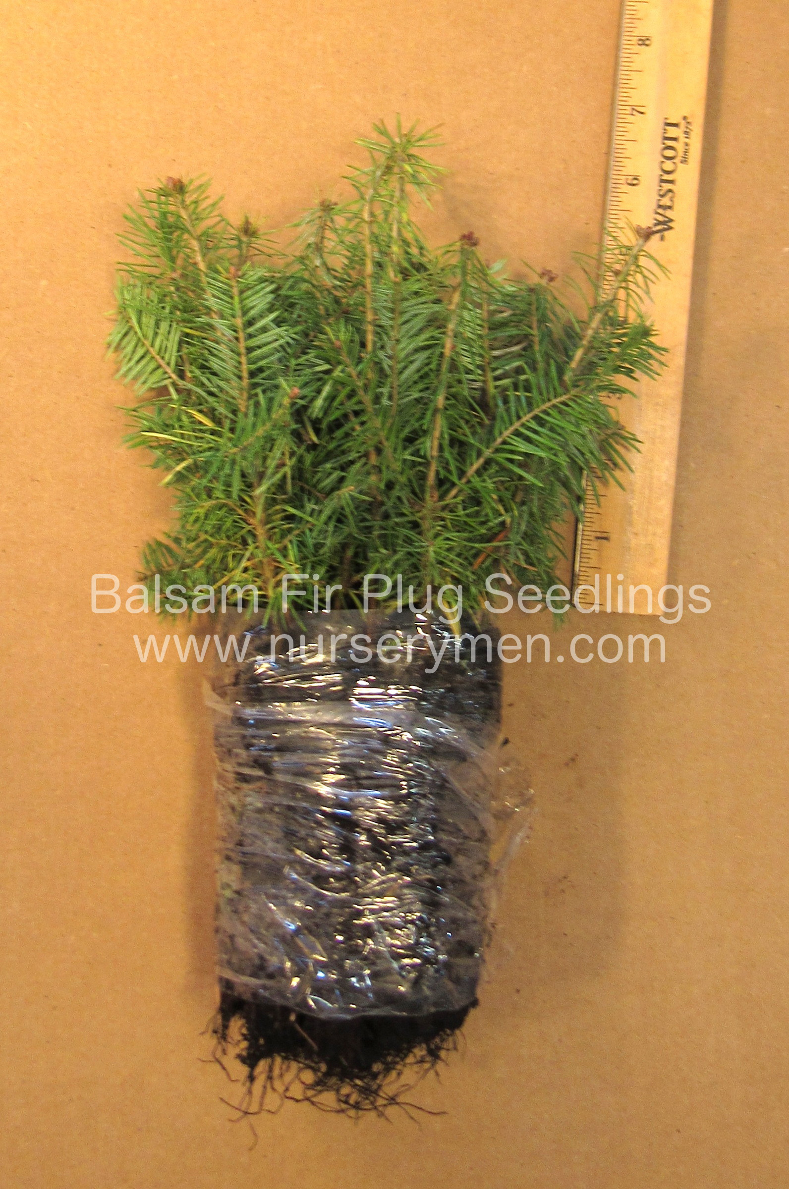 as a christmas tree balsam fir plug seedlings mature to heights of 60 90 feet balsam fir can grow in partial shade and somewhat wetter soils