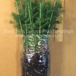 Black Hills Spruce plug seedlings for sale