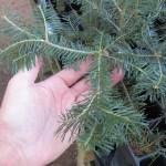 Balsam Fir plug transplants - conservation grade 04