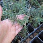 Balsam Fir plug transplants - conservation grade 01