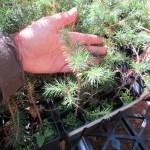 Norway Spruce plug transplants - conservation grade 03