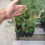 Norway Spruce plug transplants - conservation grade 06