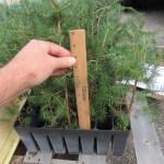 Norway Spruce plug transplants - conservation grade 07